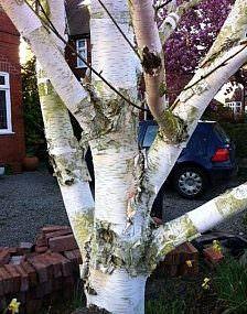 Betula Ermanii tree