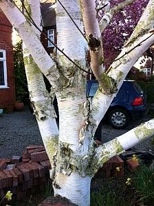 Betula Ermanii tree